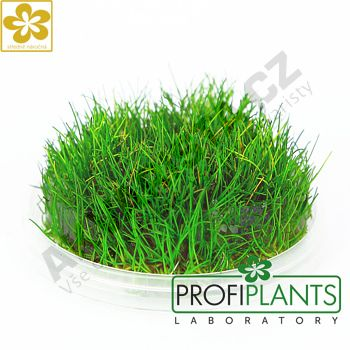 Profiplants Eleocharis parvula (in vitro) kelímek 65 mm