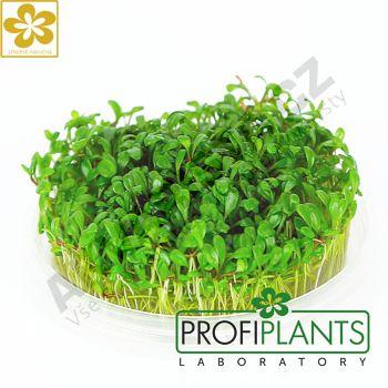 Profiplants Glossostigma elatinoides (in vitro) kelímek 65 mm