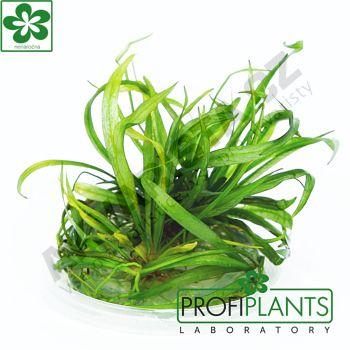 Profiplants Helanthium bolivianum Isthmicus (in vitro) kelímek 65 mm