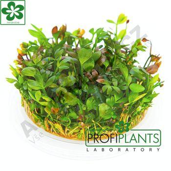 Profiplants Marsilea hirsuta (in vitro) kelímek 65 mm