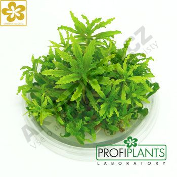 Profiplants Pogostemon helferi (in vitro) kelímek 65 mm