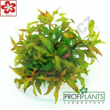 Profiplants Pogostemon stellatus (in vitro) kelímek 65 mm