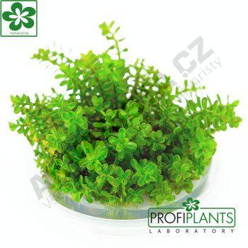 Profiplants Rotala rotundifolia (in vitro) kelímek 65 mm
